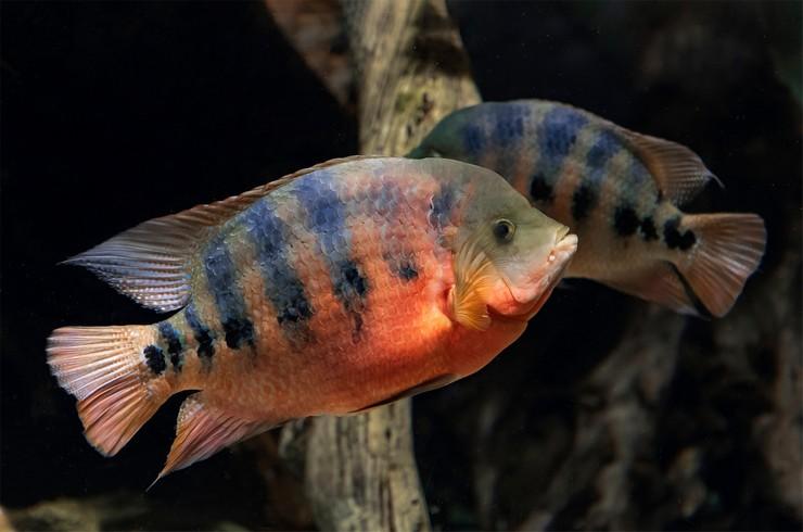 Многие виды цихлазом требуют больших объемов аквариума
