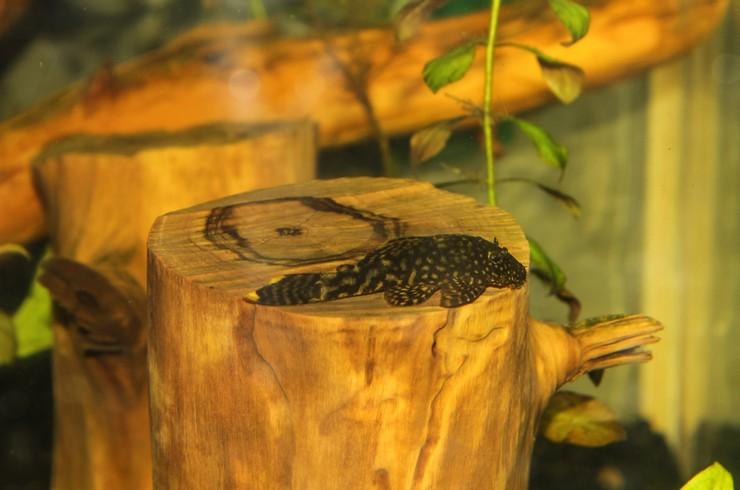 Натуральная коряга – источник целлюлозы для анциструсов