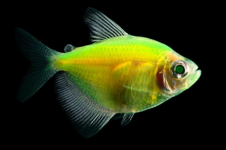 Тернеции GloFish – яркие рыбки с эффектом свечения
