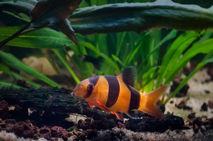 В аквариумах с боциями необходымы укрытия