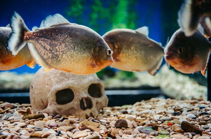 В аквариуме с пираньями обычно используется минимум декораций