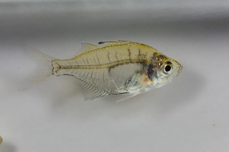 Через прозрачную чешую стеклянного окуня видны внутренние органы рыбки