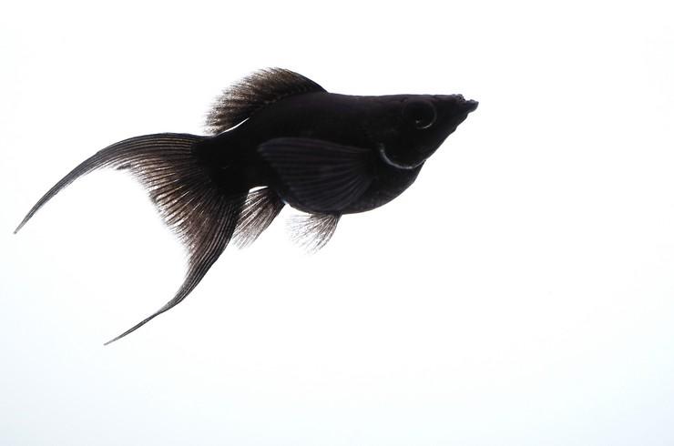 Черная моллинезия баллон