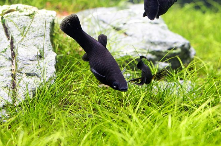 Черные моллинезии любят обкусывать нежные листья водных растений