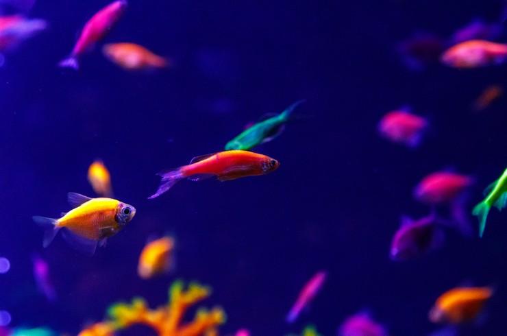 Данио и тернеция глофиш в общем аквариуме
