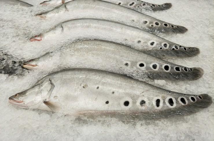 Индийский нож – объект рыболовного промысла