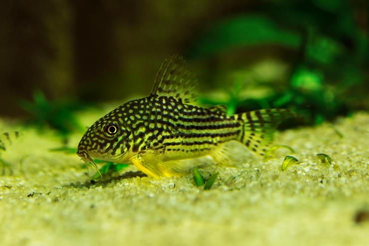 Коридорасы Штерба предпочитают питаться на дне аквариума