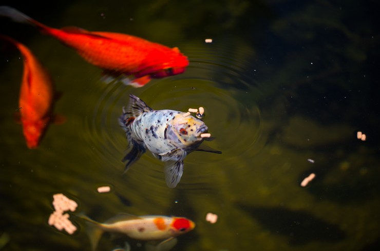 Кормление шубункина в декоративном пруду