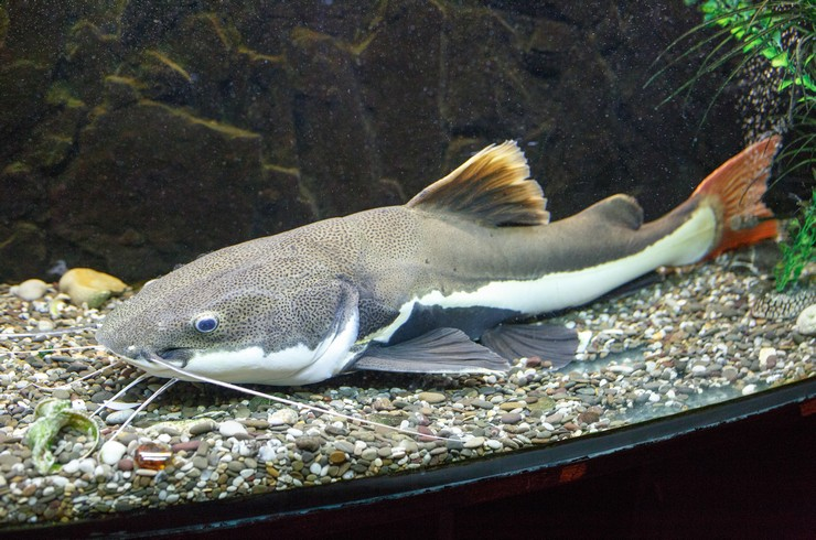 Краснохвостый сом – один из самых крупных аквариумных обитателей