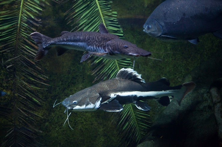 Краснохвостый сом в общем аквариуме