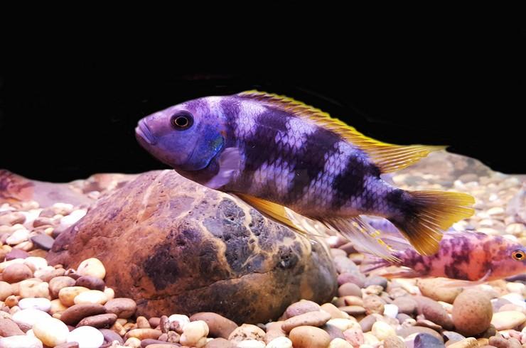 Мбуна в переводе означает «рыбы, живущие у скал»