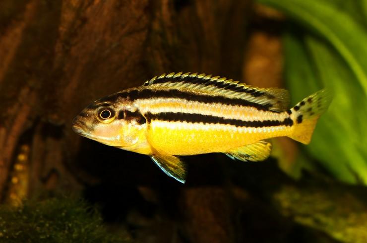 Меланохромис золотой – типичный представитель цихлид Мбуна