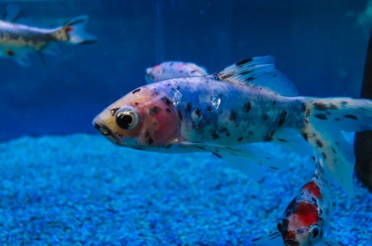 Шубункины – неприхотливые в содержании рыбки