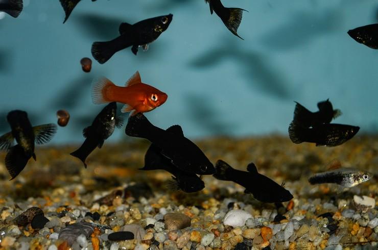 Стайка черных моллинезий в общем аквариуме