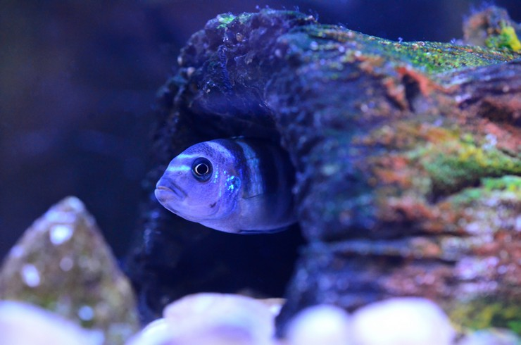 В аквариумах с цихлидами Мбуна необходимо много укрытий