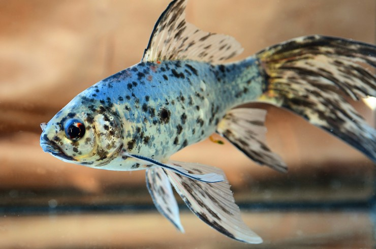 Золотая рыбка шубункин