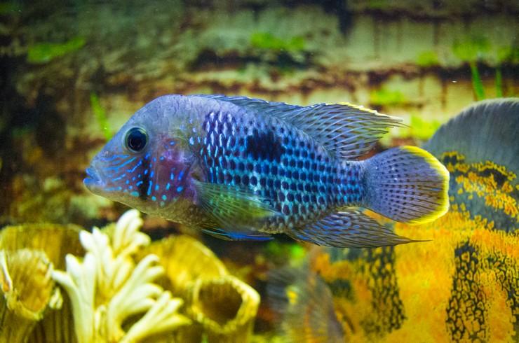 Акара в общем аквариуме