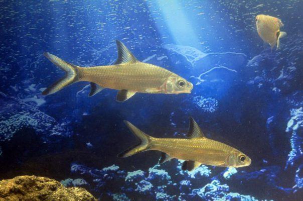 Акулий балу в общем аквариуме
