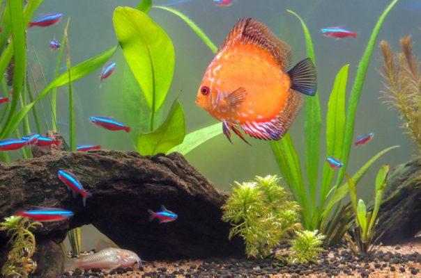 Дискус в общем аквариуме