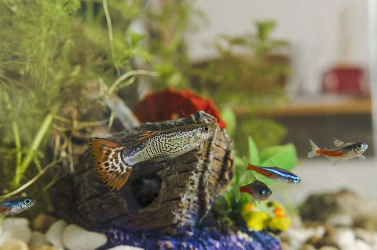 Гуппи и неоны в общем аквариуме