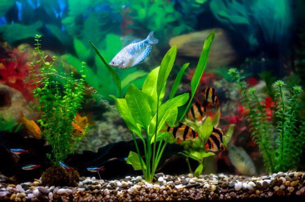 Гурами уживается с большим количеством декоративных рыб