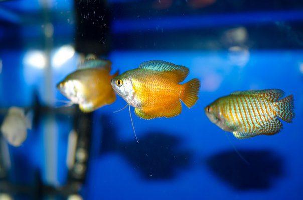 Лялиус в общем аквариуме
