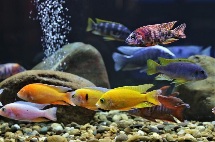 Малавийские цихлиды в общем аквариуме