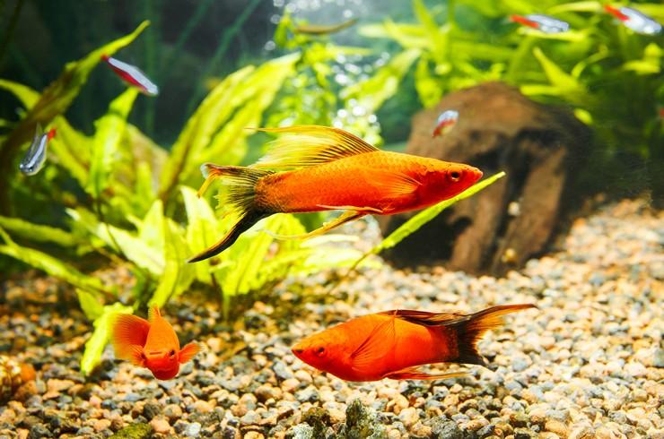 Меченосцы и неоны в общем аквариуме