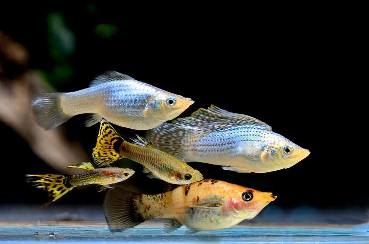 Моллинезии в аквариуме с гуппи