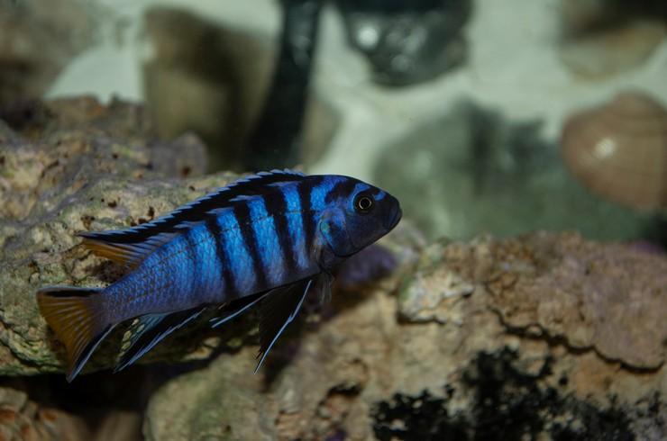 Псевдотрофеус Демасони – типичный представитель малавийских цихлид