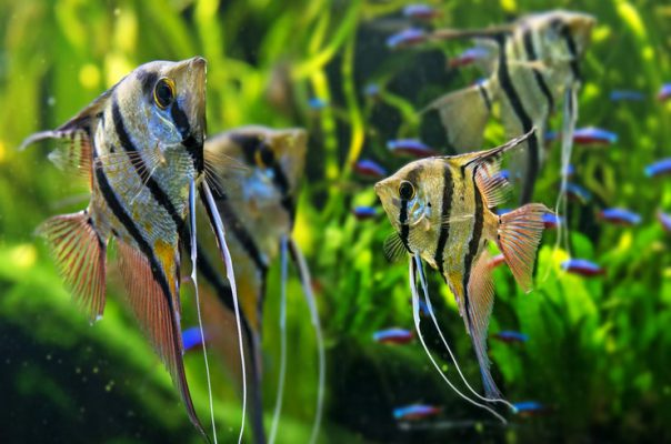 Скалярии в общем аквариума с неонами