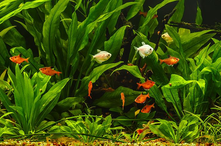 Тернеции и миноры в общем аквариуме