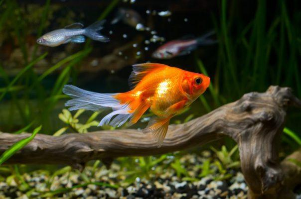 Золотая рыбка в общем аквариуме с данио