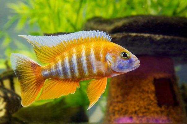 Цихлиды - яркие и интеллектуальные аквариумные рыбки