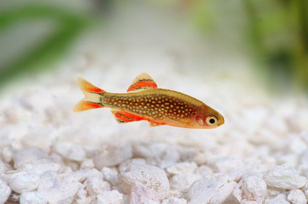Для содержания в маленьких аквариумах подойдут только миниатюрные виды рыб