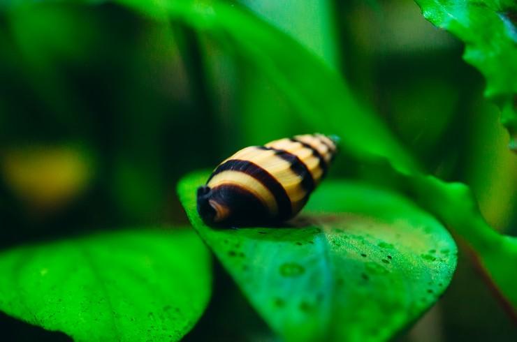 Хелены не портят живые растения в аквариуме