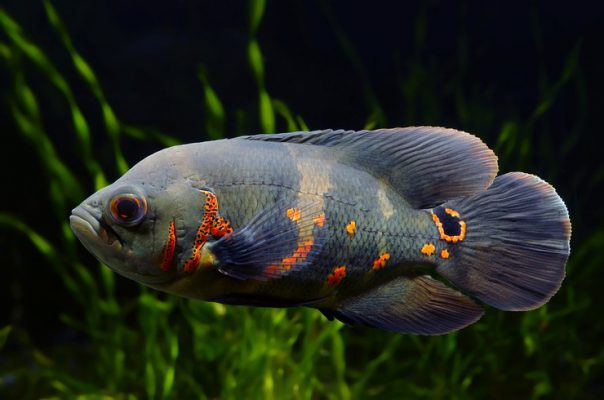 Хищные виды аквариумных рыб могут полакомиться практически любым сожителем, способным поместиться в рот