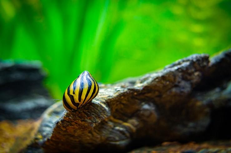 Неретины отлично очищают аквариум от водорослей