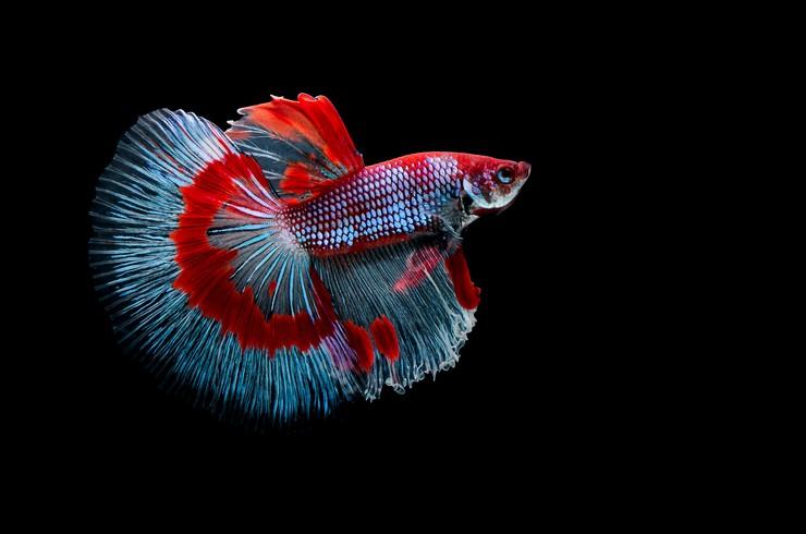 Окрас современных аквариумных рыбок поражает своим многообразием