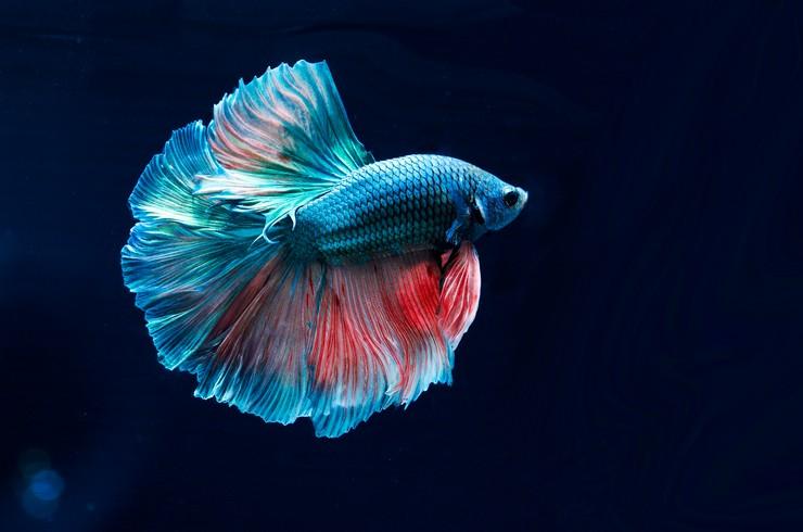 Петушки – самые распространенные лабиринтовые рыбки