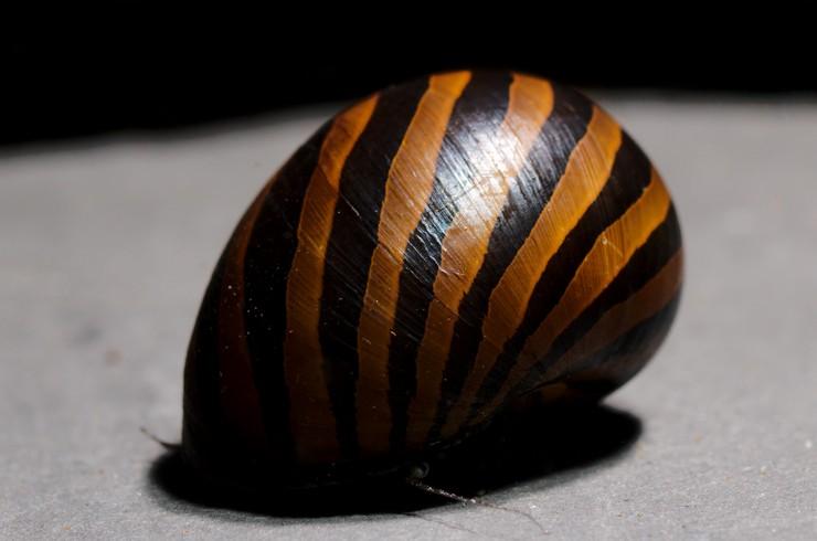 Раковина одного из видов неретин