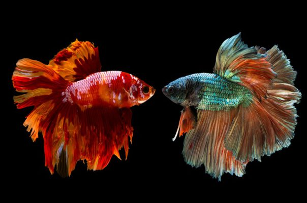 Самцы петушков не уживутся в одном аквариуме