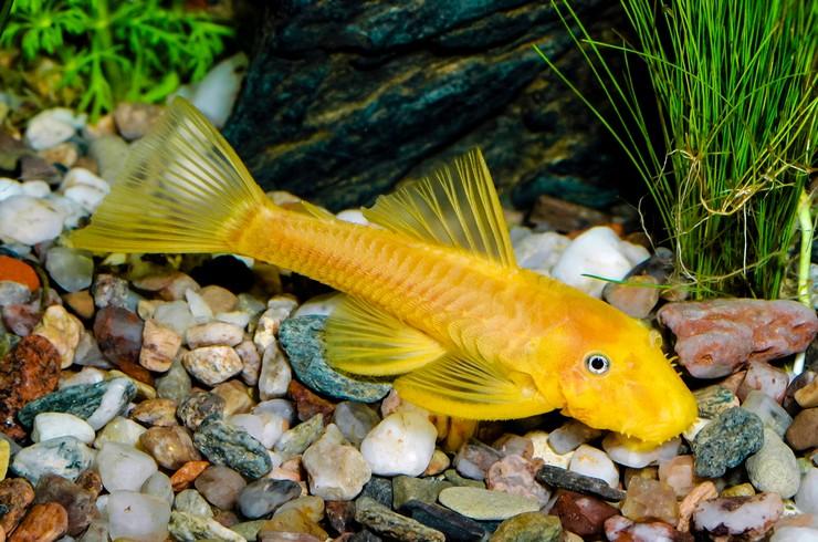 Сомики – популярные аквариумные обитатели