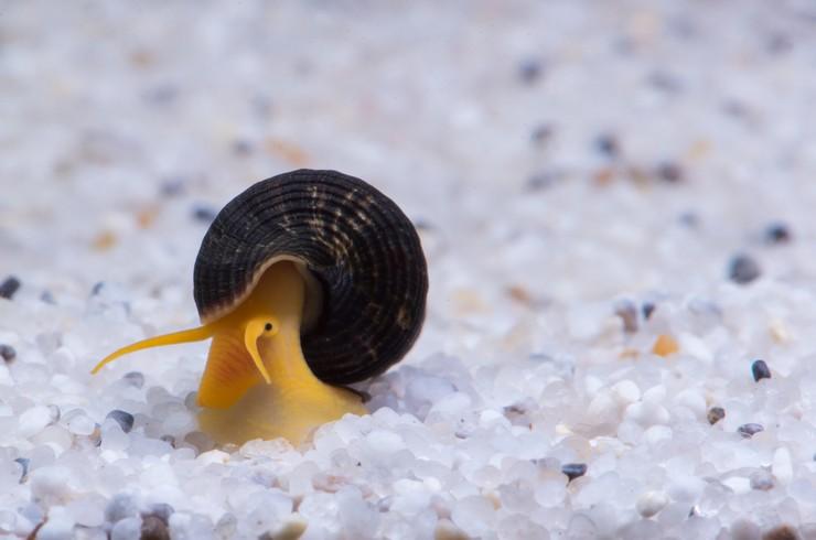 Тиломеланий лучше всего содержать в видовом аквариуме