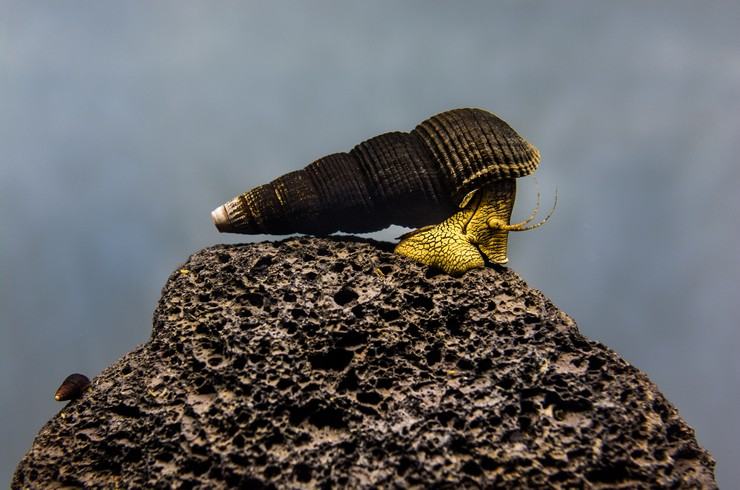 Тиломелания на куске аквариумной лавы