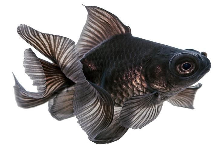 У рыбок с черной окраской тела много почитателей