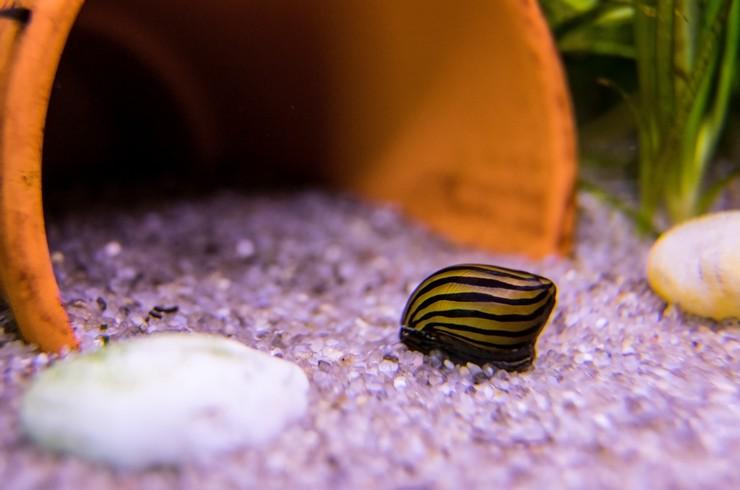 Улитка неретина в аквариуме