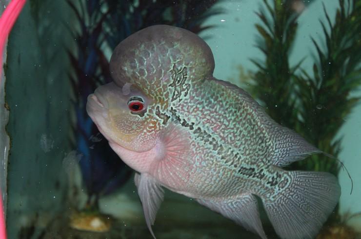 Фловер хорна необходимо содержать в больших аквариумах