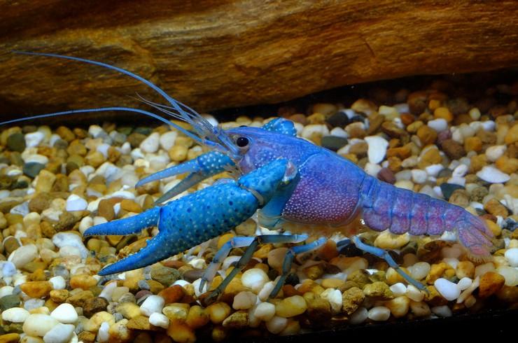 Голубых кубинских раков лучше содержать в видовых аквариумах