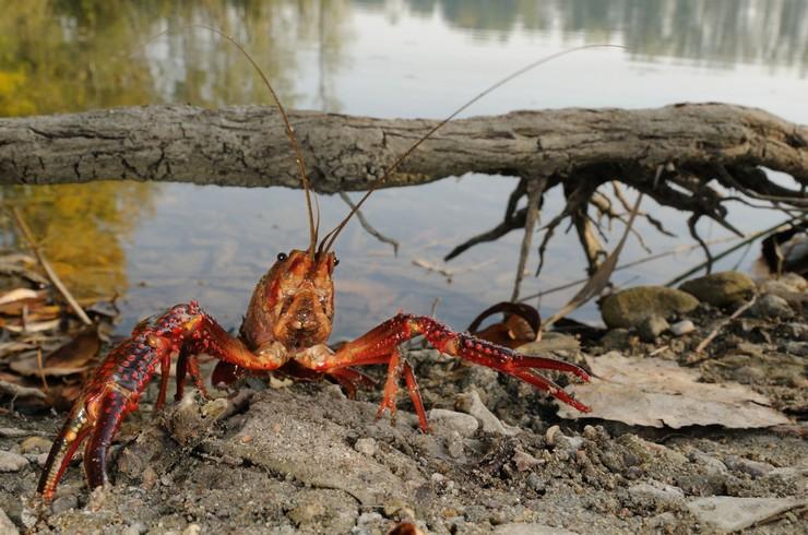 Калифорнийский рак в естественной среде обитания